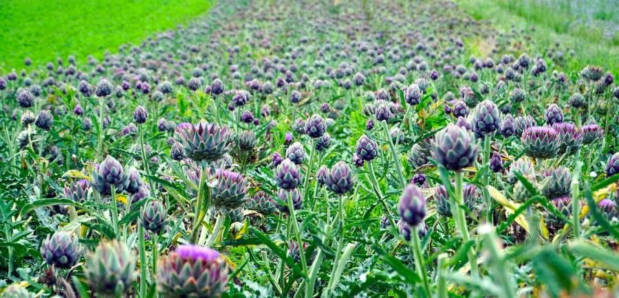 Artichokes farm in Vietnam