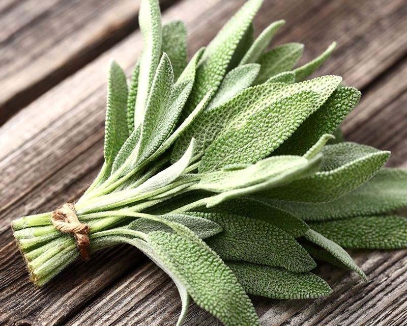 Sage plant for kidney