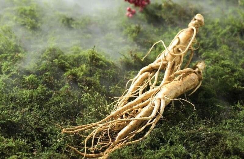 Vietnamese ginseng root
