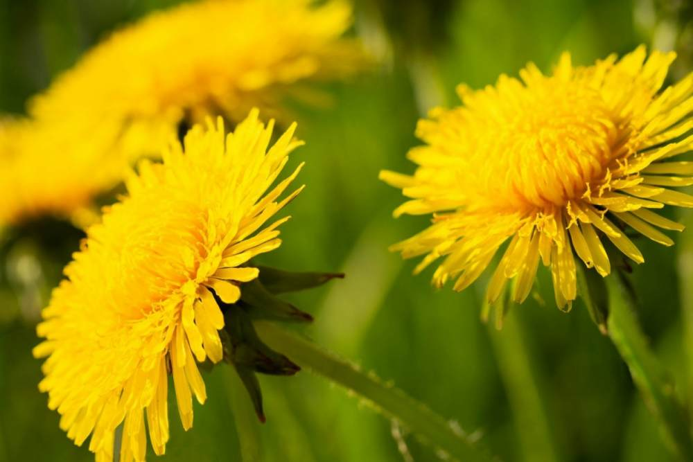 Dandelion traditional medicine