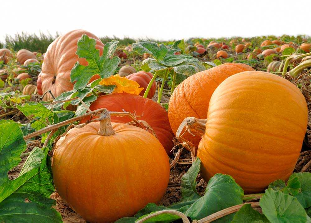 Pumpkin Boost Your Immunity
