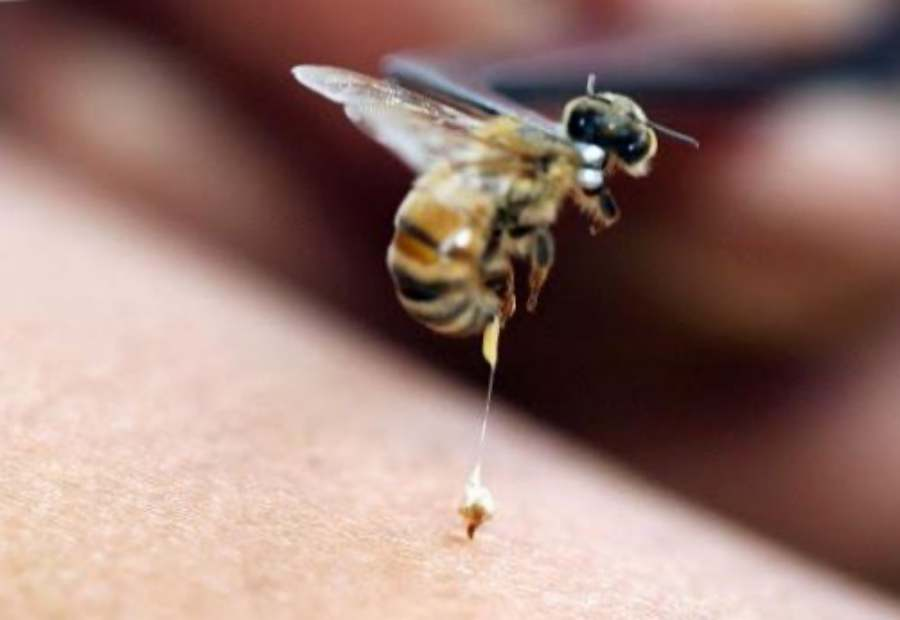 Bee Venom medicine