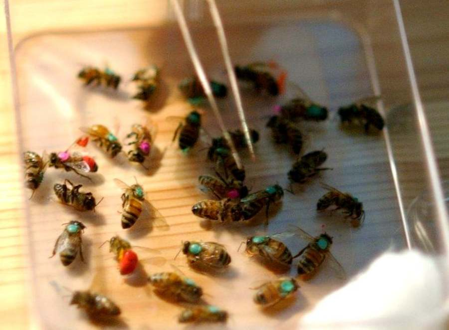 Dry Bee bodies (well preserved, dry and not yet decomposed