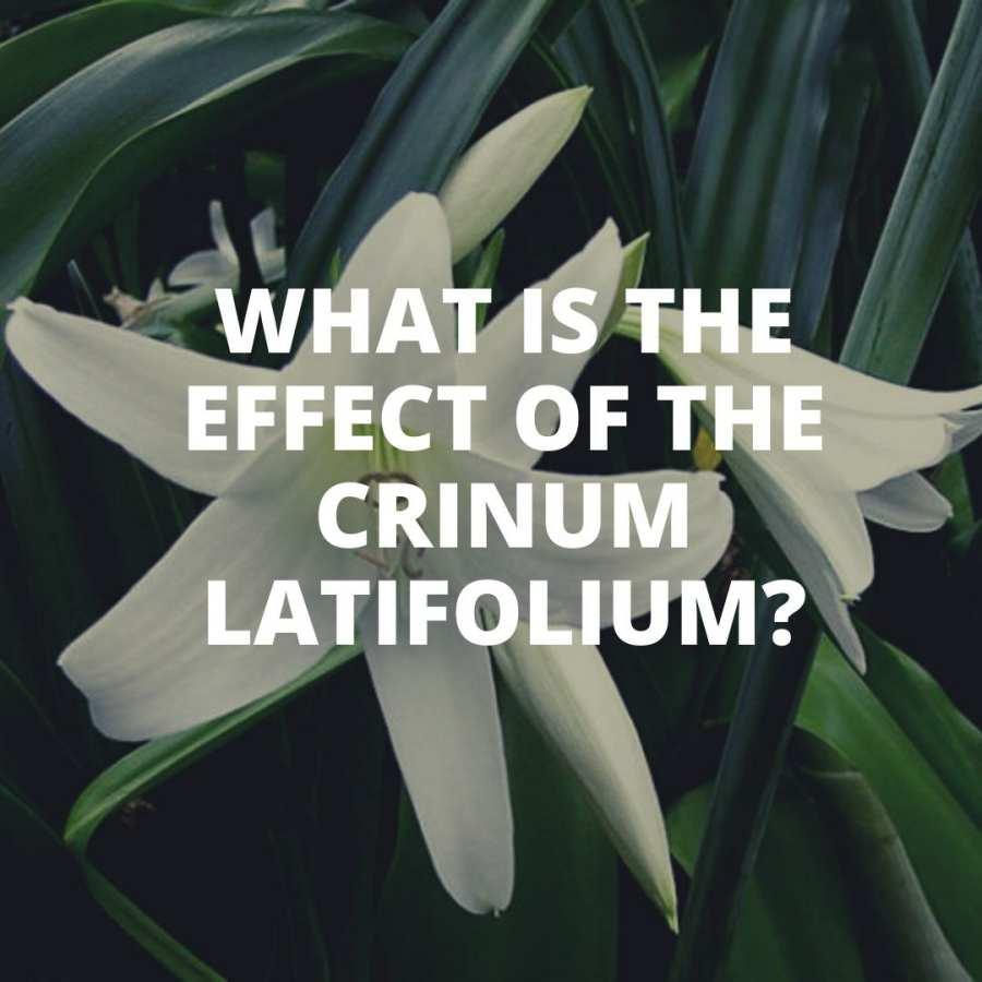 What is the effect of the Crinum latifolium